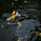 Exotische Pauw Bass Fish Leaping royalty-vrije stock foto's