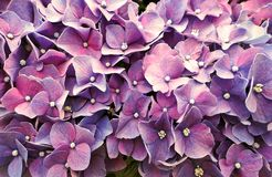 Exotische Purpere Hydrangea hortensiabloemen in het Park stock foto