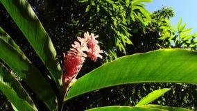 Exotische rode bloem en installaties in Franse Polynesia op het Eiland van Tahiti stock videobeelden