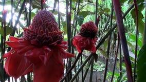 Exotische rode bloem en installaties in Franse Polynesia op het Eiland van Tahiti stock footage