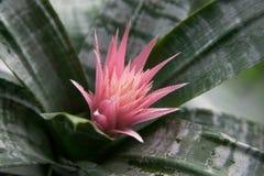 Exotische rosa Blume Aechmea Lizenzfreies Stockfoto