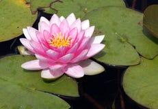 Exotische rosafarbene Wasser-Lilie Stockfotografie