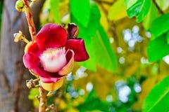 Exotische rote Blume einer seltenen Pflanze stockfoto