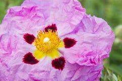 Exotische Roze Bloem Royalty-vrije Stock Afbeeldingen