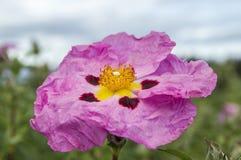 Exotische Roze Bloem Stock Afbeeldingen