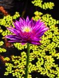 Exotische roze lotusbloembloem op groene bladachtergrond royalty-vrije stock foto's