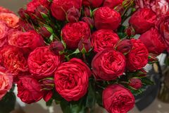 Exotische rozen van scharlaken rode elite moderne verscheidenheden in het boeket als gift Achtergrond stock afbeelding