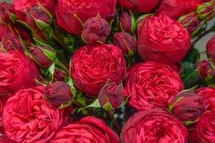 Exotische rozen van scharlaken rode elite moderne verscheidenheden in het boeket als gift Achtergrond stock foto's