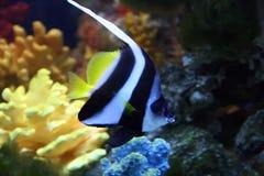 Exotische saltwatrervissen Stock Foto's