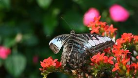 Exotische Schmetterlingsnahaufnahme in einem tropischen Garten stock video