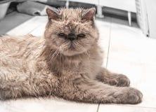 Exotische shorthair Katze Stockbilder