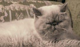 Exotische shorthair Katze Lizenzfreie Stockfotografie