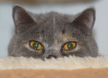 Exotische shorthair Katze Lizenzfreie Stockbilder