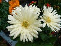 Exotische tropische bloemen Stock Fotografie