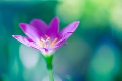 Exotische tropische Blumenrosablumenblätter auf unscharfem bokeh Hintergrund stockbilder