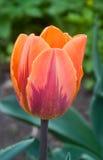 Exotische tulp royalty-vrije stock afbeeldingen