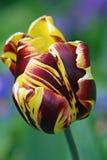 Exotische tulp Stock Afbeeldingen