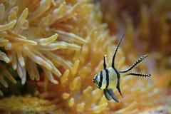 Exotische vissen Royalty-vrije Stock Foto's