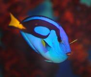 Exotische vissen blauwe vlag of chirurg (lat Paracanthurushepatus) Stock Afbeeldingen