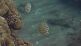 Exotische vissen die dichtbij koraalrif op zeebeddings onderwatermening zwemmen Onderwater het schieten tropische vissen die in d stock video