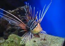 Exotische vissen die in koraalrif zwemmen Stock Afbeeldingen