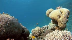 Exotische vissen Koraalbloemen stock footage