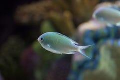 Exotische vissen in tank Royalty-vrije Stock Afbeelding
