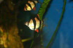Exotische vissen, tetrazona Barbus royalty-vrije stock afbeeldingen