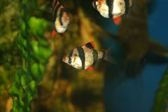 Exotische vissen, tetrazona Barbus royalty-vrije stock foto