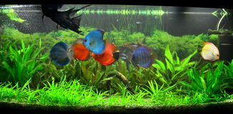 Exotische vissentank - aquarium uit de Amazone Stock Afbeelding