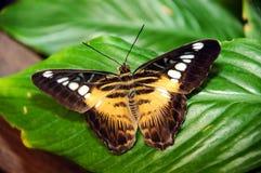 Exotische vlinder. stock afbeeldingen