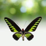 Exotische vlinder Stock Afbeelding