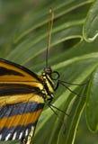 Exotische vlinder Stock Afbeeldingen