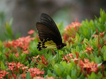 Exotische vlinders van Thailand, eiland Phuket 1 Stock Fotografie