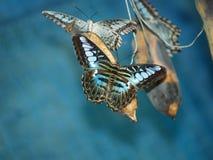 Exotische vlinders van Thailand, eiland Phuket 4 Stock Afbeelding
