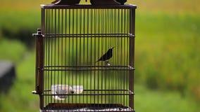 Exotische vogel in een kooi stock video