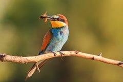 Exotische vogel van horzels in zijn bek bij zonsondergang Royalty-vrije Stock Foto