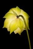Exotische waterlelie in geel Royalty-vrije Stock Afbeeldingen