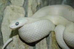 Exotische weiße Schlange Lizenzfreies Stockfoto
