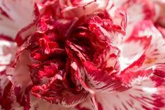 Exotische witte en rode anjer Stock Fotografie