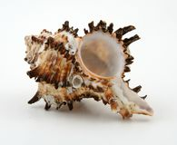 Exotische zeeschelp Stock Foto