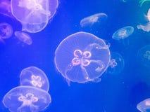 Exotische zoutwaterkwallen die in aquarium zwemmen Stock Fotografie