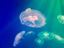 Exotische zoutwaterkwallen die in aquarium zwemmen Royalty-vrije Stock Foto