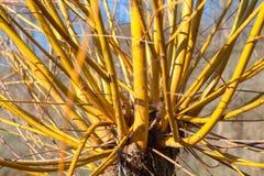 Exotischer Baum mit gelben barnches Stockbilder