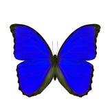 Exotischer blauer Schmetterling lokalisiert auf weißem Hintergrund, das blaue MOR Stockfotografie