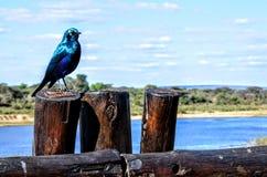 Exotischer blauer Vogel Stockfotografie