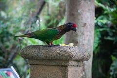 Exotischer grüner Papagei, wild lebende Tiere in Bali-Vögeln und Reptilien parken Stockbild