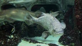 Exotischer Meeresfisch im Aquarium stock video footage