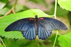 Exotischer Schmetterling mit metallischer dunkelblauer Färbung Stockfotografie