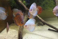 Exotischer Seefisch im Aquarium, Russland lizenzfreies stockbild